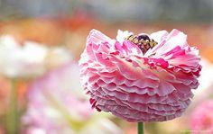 The Flower Fields, Carlsbad,CA 3.29.14 21