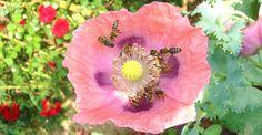 Macul, calmantul natural din grădină | Paradis Verde Poppies, Nature, Plant, Life, Naturaleza, Poppy, Nature Illustration, Off Grid, Poppy Flowers