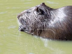 Sweet beaver in the water. Sweet, Water, Animals, Candy, Gripe Water, Animales, Animaux, Animal, Animais