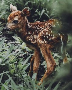 """culturevulturette: """"banshy: """"Petoskey, Michigan by Jaclyn DeLyon """" Your Daily Deer: Little Bit """" Animals And Pets, Cute Animals, Baby Animals, Petoskey Michigan, Chase Your Dreams, Nymph, Gothic Fashion, Women's Fashion, Wildlife Photography"""