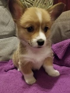 Holly – Pembroke Welsh Corgi for sale in Monroe, Michigan - Healthy AKC Corgi born on Christmas Day in our family home. A wonderful companion for any home sett - Corgis For Sale, Yorkie Puppy For Sale, Puppies For Sale, Puppies Near Me, Tiny Puppies, Monroe Michigan, Puppy Finder, Pembroke Welsh Corgi Puppies, Frozen Dog