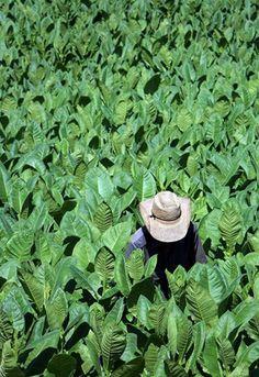 Tabacos Feld Cohiba in Cuba UNESCO