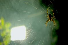ArañaSpider