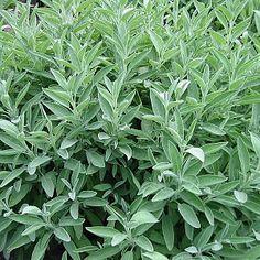 Salvia officinalis: Salie  Salie geeft smaak aan wit vlees, vis, sauzen, vullingen, charcuterie, groenten, kaasbereidingen en soepen. In thee en kruidenazijn. Medicinale plant. Gebruikt in de parfumerie en in de aromatherapie.