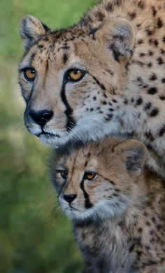 The Protector. (by Stinkersmell). Cute Baby Animals, Animals And Pets, Wild Animals, Beautiful Cats, Animals Beautiful, Big Cats, Cute Cats, Big Cat Family, Cat Noises