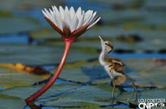 Image result for jacana water bird in namibia