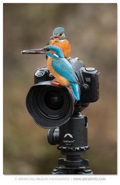 Kingfisher-Alcedo atthis