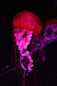 Red & Purple Jelly Fish