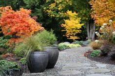 The stars of this scene are undoubtedly the Japanese maples. From the burnt orange Iijima Sunago (Acer palmatum 'Iijima Sunago') to the golden yellow Hogyoku (Acer palmatum 'Hogyoku') and the Pacific Northwest native vine maple (Acer circinatum) closest to the house.