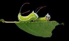 Caterpillars of the US north-east – in pictures