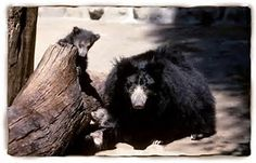 SLOTH BEARS...also called the Sri Lankan or Indian Sloth Bear...live on the Indian subcontinent (India, Sri Lanka and Nepal) in forests, savannas, scrublands, and grasslands...averages 4.5 to 6 feet long...weighs 120 to 310 pounds...can be heard sucking up termites from 330 feet away...its nostrils can close completely protecting it from dust or insects when raiding termite nests & beehives...distinguished from the Asiatic Black Bear by its light colored nose...less than 10,000 in the wild