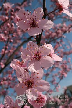 Ornamental cherry trees flower | Creation Light Photography