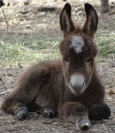 Sweet Micro Miniature Donkey - from Low Down Donkey Outfit at Sundown Ridge Ranch in Blanco, Texas