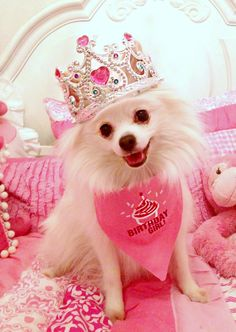 Pomeranian #birthday