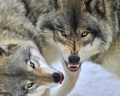 73 Best Timberwolves Images Beautiful Wolves Animals Beautiful