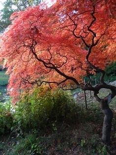 Acer palmatum 'Ornatum'. planted two of these this fall,hope they are as beautiful