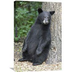 Black Bear Cub Leaning Against Tree, Orr, Minnesota By Matthias Breiter, 30 X 20-Inch Wall Art