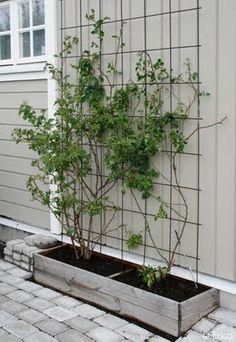 Back Gardens, Outdoor Gardens, Big Leaf Plants, Garden Cottage, Home And Garden, Green Facade, Vertical Garden Design, Balcony Plants, Garden Trellis