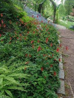 Aquilegia canadensis Wild columbine from North Creek Nurseries Landscaping With Rocks, Backyard Landscaping, Backyard Ideas, Shade Garden, Garden Plants, Mixed Border, North Creek, Hillside Garden, Spring Garden