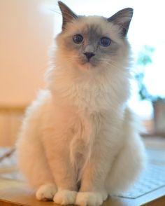 Today I have kissed sweet Bounty #minivaniljerna2016 #birma #birman #breeder #catsofinstagram #chokladochvanilj #catsagram #kitten #pinkalicious #bestcats_oftheworld #excellent_kittens #welovecats #we_love_cats #birmavanner