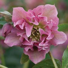 Helleborus 'Double Ellen Pink'