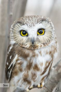 Magical The Best Owl Pictures That . - Magical The best owl pictures you& ever see - Owl Photos, Owl Pictures, Animals Tattoo, Saw Whet Owl, Funny Owls, Owl Pet, Beautiful Owl, Owl Bird, Pet Birds