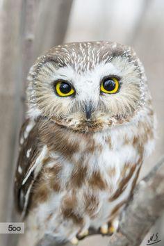Saw Whet Owl by Nick Seman**