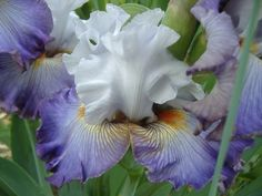 TB Iris 'Arthouse' (Blyth, 2008)