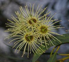 Eucalyptus sporadica, Kings Park, Perth