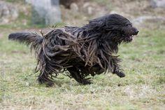 bergamasco shepherd dog photo | Dog Breeds / Bergamasco Shepherd / Bergamasco Shepherd - Royal Canin