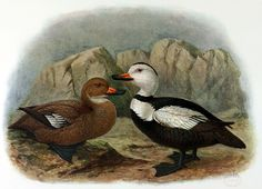 The Labrador Duck was thought that it was always rare, but between 1850 and 1870, populations waned further. Its extinction is still not fully explained. Although hunted for food, this duck was considered to taste bad, would rot quickly and fetched a low price. Consequently, it was not sought much by hunters. However, it is thought that the eggs may have been over-harvested, and it may have been subject to depredations by the feather trade in its breeding area or lack of food.