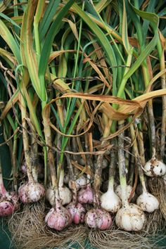 Growing Your Own Garlic Is Easy!  Fall is the time to plant, and no vegetable is so easy to grow and harvest.