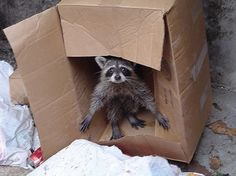 Best Funny Animals images AM, Tuesday February 2015 PST) – 15 pics Funny Animal Images, Animals Images, Animals And Pets, Baby Animals, Funny Animals, Funny Pictures, Cute Animals, Pet Raccoon, Tier Fotos