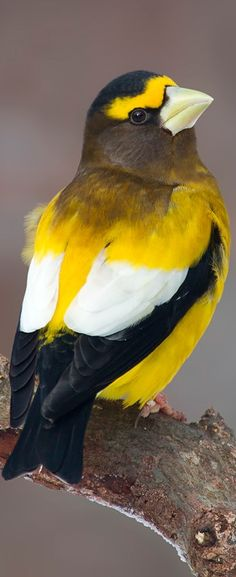 Evening Grosbeak.