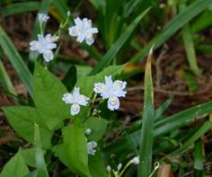 Iris japonica MLCH1464