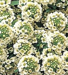 Alyssum Sweet Alice Primrose 2,500 Seeds Lemon Yellow, Lemon Lime, North Facing Garden, Lemon Plant, Plant Covers, Perennial Vegetables, How To Attract Birds, Annual Flowers, Tall Plants