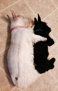 Be careful ! These little terriers of any color are notorious Heart Thieves ! You've been warned. :-)