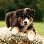 Spunky - Australian Shepherd Deckrüde