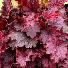 "Heuchera (Coral Bells) ""Midnight Bayou""-leaf color changes during the summer from red-purple to silver-purple. Nice color contrast with other coral bells and hostas. Heuchera, Coral Bells Heuchera, Plants, Coral Bells Plant, Light Pink Flowers, Planting Shrubs, Unusual Plants, Plant Catalogs, Lavender Garden"