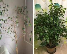 Felkopaszodott ficus benjamina helyrehozása - olvasói tanácsok Ficus, Herbs, Lombok, Plants, Herb, Plant, Figs, Fig, Planets