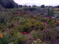 It was a lovely walk that led me through this secret garden of allotments, surrounded by an old stone wall, many plots not being cultivated so it was full of wild flowers, fruit trees plump with ripe fruit, blackberries, raspberries and vegetables, then went through a lovely old gate for a refreshing drink in a lovely pub, this 'secret garden' is so peaceful, wild and beautiful