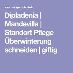 Dipladenia | Mandevilla | Standort Pflege Überwinterung schneiden | giftig