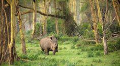 Java one-horned rhinoceros at ujung kulon national park