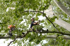 International Society of Arboriculture Midwest Chapter Tree Climbing Championship returned to the Missouri Botanical Garden on Saturday, June 8 to test arbor-related skills in a wide array of tree climbing events.