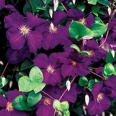 Climbing roses, clematis, and other vining plants add vertical color and save garden space in your landscape. Select from our complete assortment of vines and climbers here at Jackson & Perkins, and begin growing the garden vertically this season! Garden Shrubs, Shade Garden, Garden Plants, Rockery Garden, Purple Garden, Gardening Vegetables, Vegetable Garden, Clematis Vine, Gardens