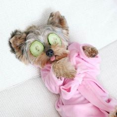 Yorkies are the cutest! Ugh a little spa day with this cutie sounds perfect
