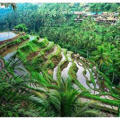 One of the most beautiful tours to do in #ubud are to see the Tegalalang Rice Terraces   We recommend a tour guide however you don't have to! Can take around 2.5 hours to do the whole tour #exercise.  Contact Agus at drivers@thebalibible.com for tours.  Photo by @zahariz #thebalibible #mybalibible #bali #ubud #tegalalangriceterrace #tours #tourist #epic #views #stunning  by thebalibible