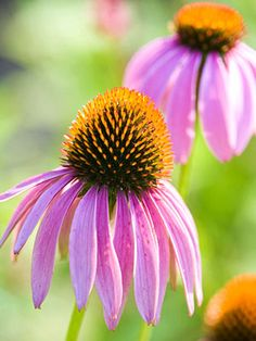 Make 2016 your best gardening year yet! Take a peek at these low-maintenance perennials to incorporate into your garden. Find pretty blooms, gardening tips and landscaping hints here! Source by bhg flowers Tall Perennial Flowers, Flowers Perennials, Planting Flowers, Wild Flowers, Beautiful Flowers, Plants That Attract Butterflies, Best Perennials, Hardy Perennials, Pot Plante