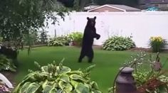 Please sign, you don't have to have your name shown. Pedals was a black bear that had adapted to having two injured front paws by walking upright. He was thriving and healthy. He was a beloved icon in New Jersey.