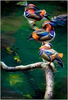 I want these ducks in my pond !